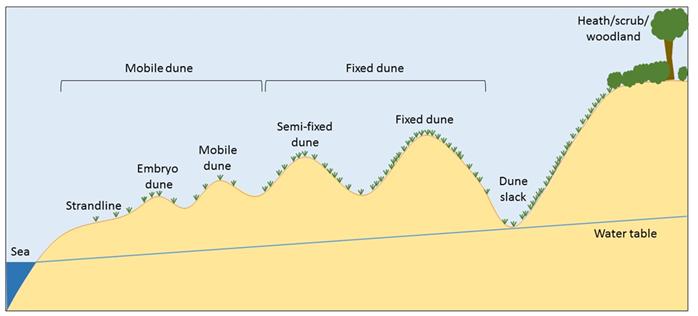 Dune lifecycle
