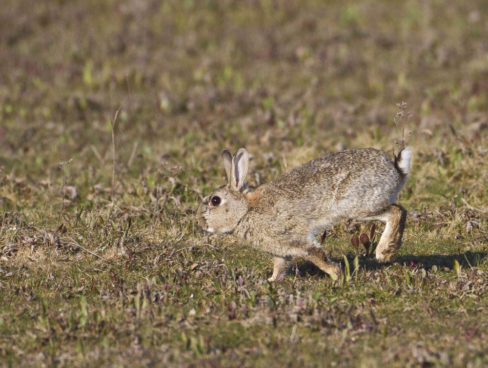 Rabbit on saltmarsh_Titchwell030513