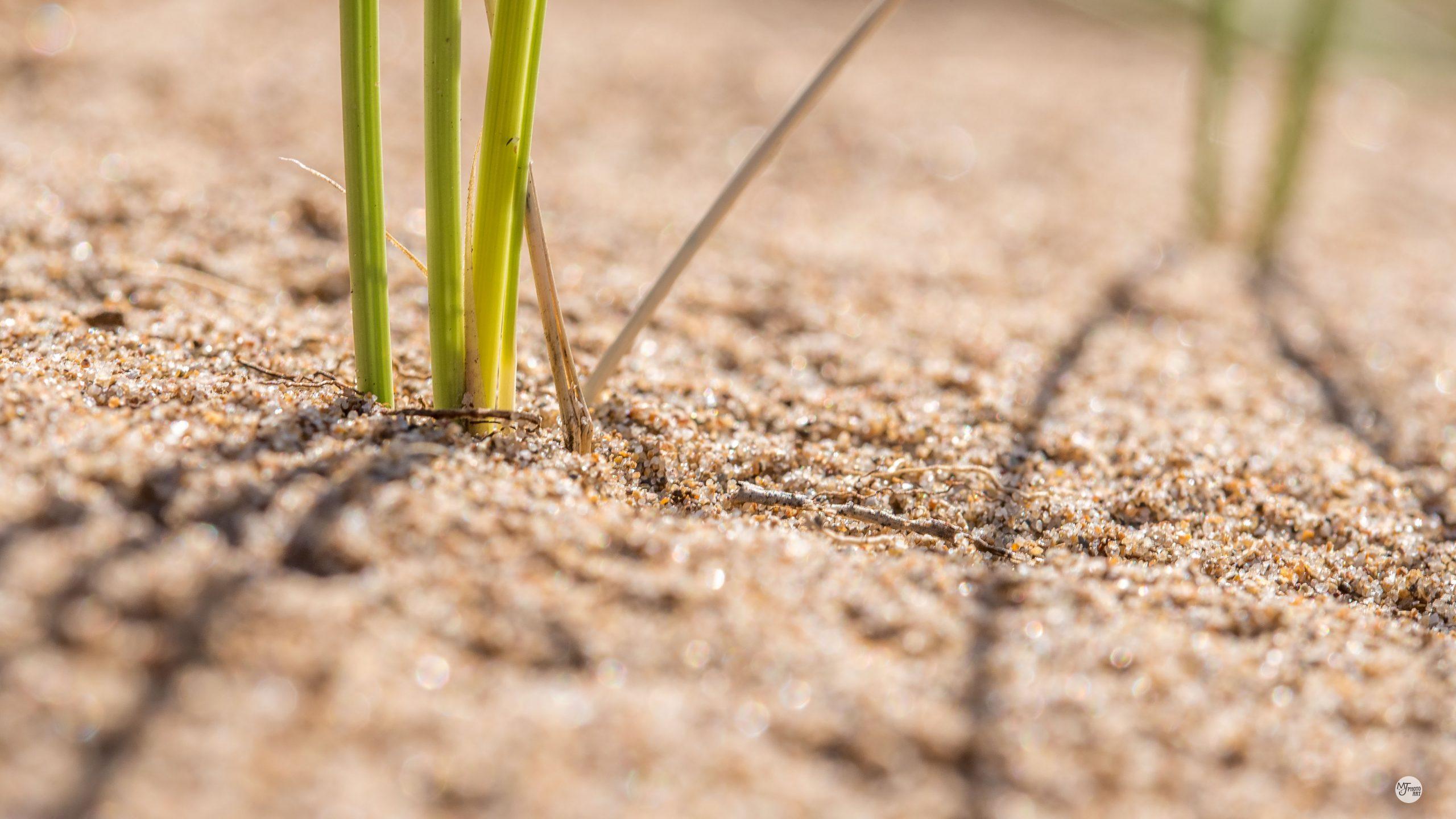 Marram grass Mark Johnson