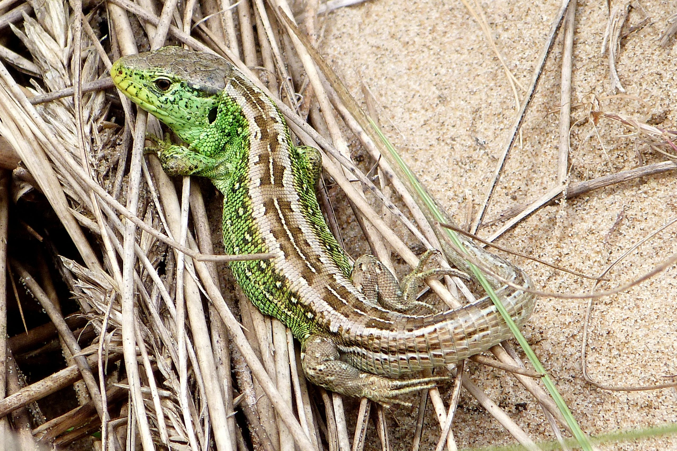 A green and brown sand lizard sits on a sandy grassy patch of sand dune