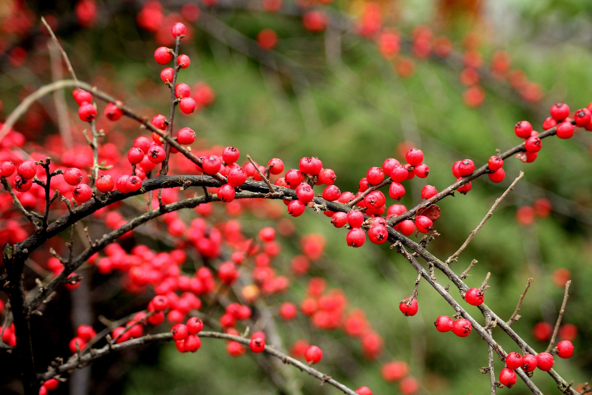 cotoneaster-3906617_1920