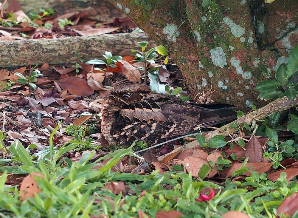 long-tailed-nightjar-nesting-4579398_1920