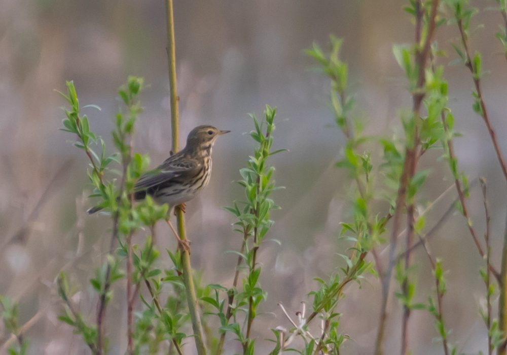 meadow-pipit-5032505_1920