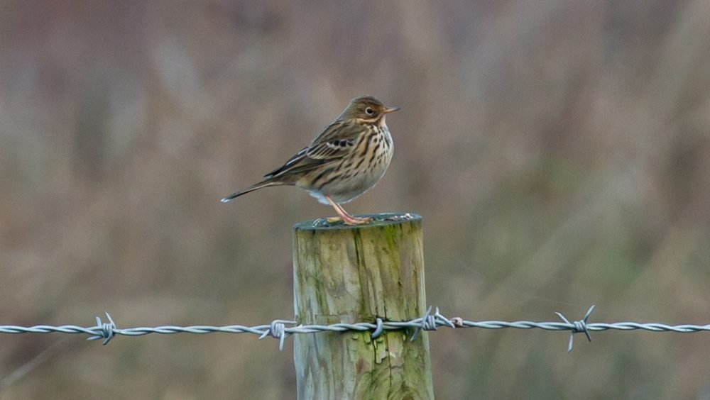 meadow-pipit-5881591_1920