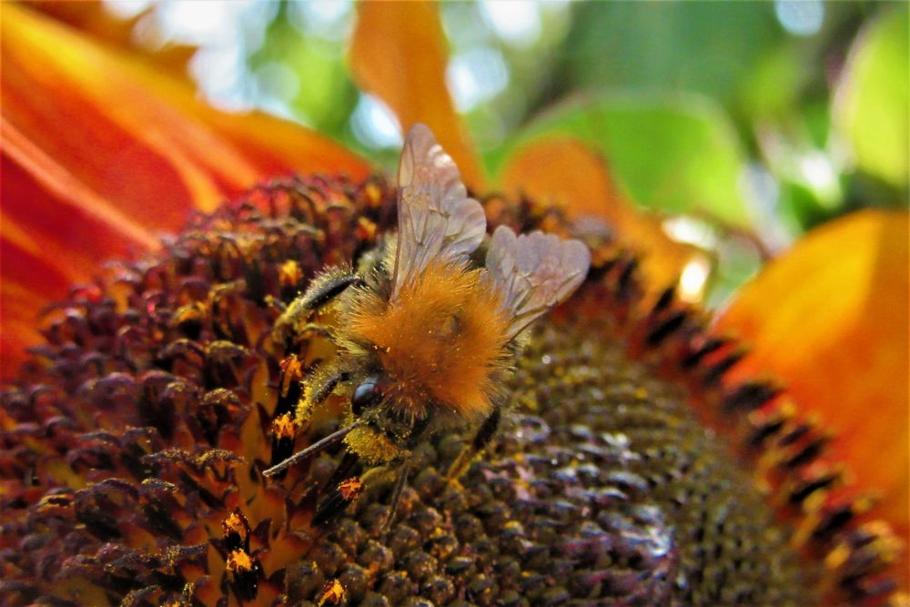 common-carder-bee-4471909_1920