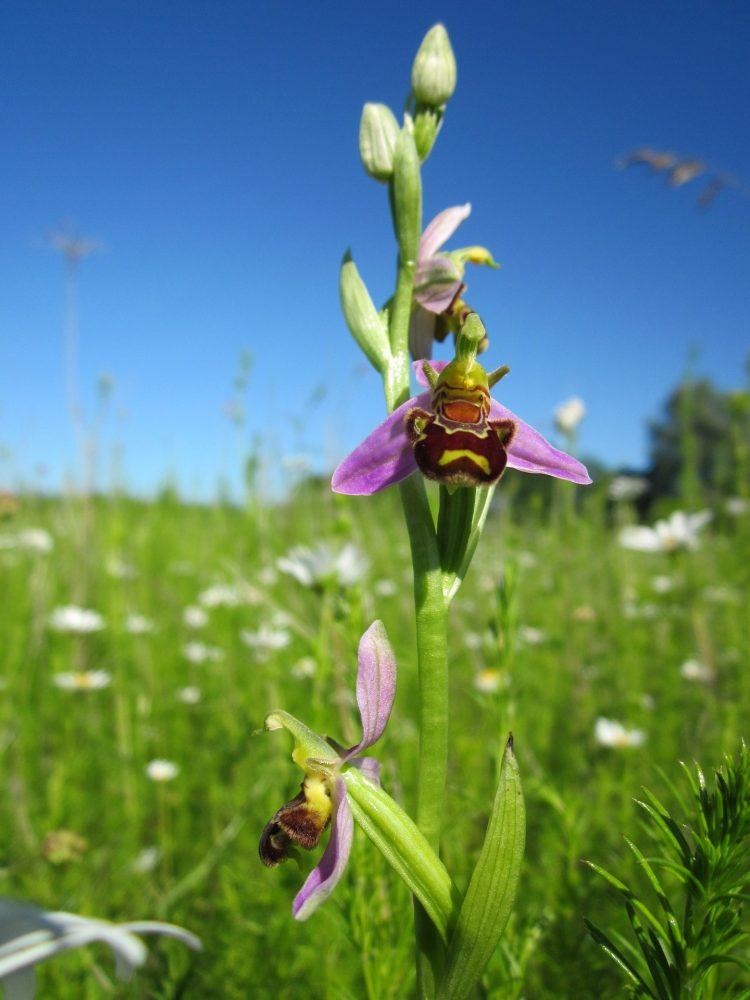 ophrys-apifera-846657_1920