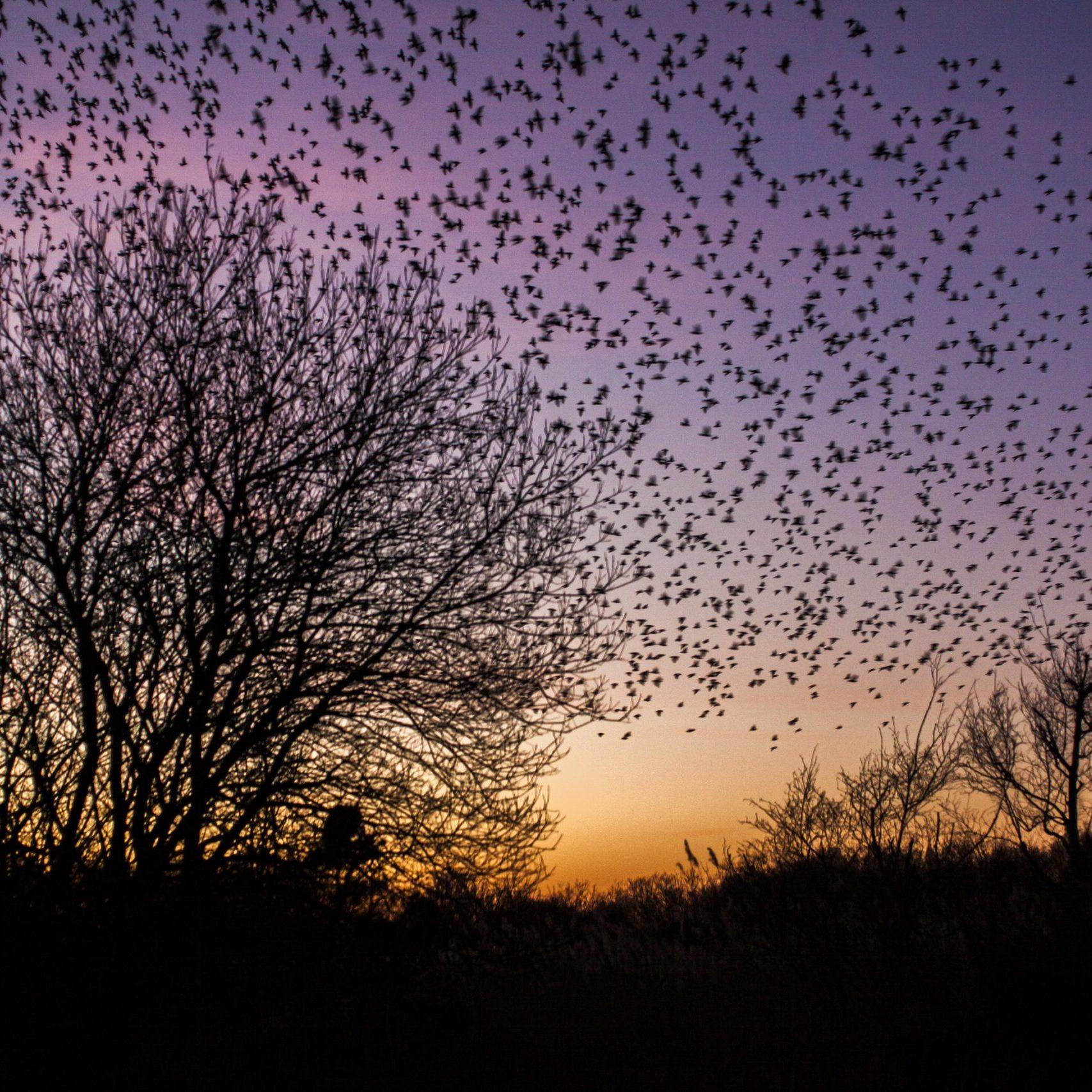 Starlings at Studland