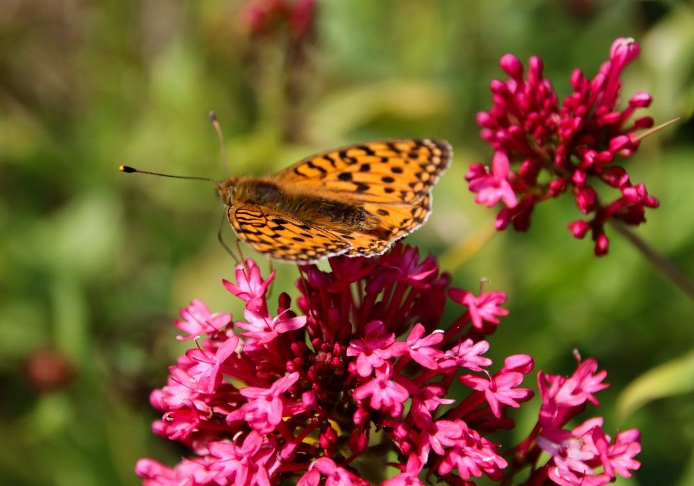 Insects Cornwall Dunes dark green fratilary butterfly Credit Emma Brisdion
