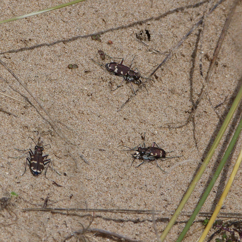 Northern Dune Tiger Beetles - Copy