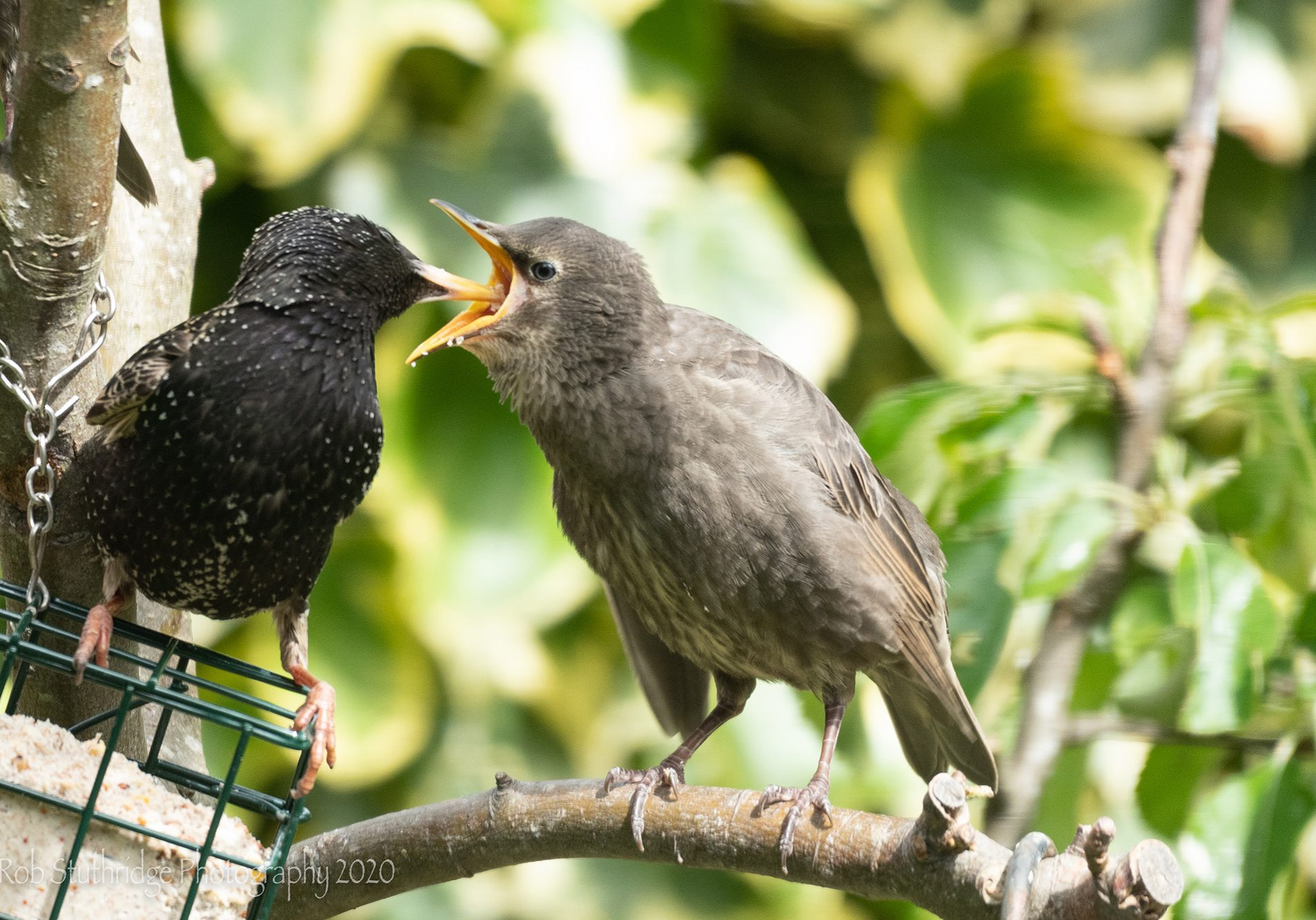 Hungry fledglings mean busy parents! Barrow in Furness.