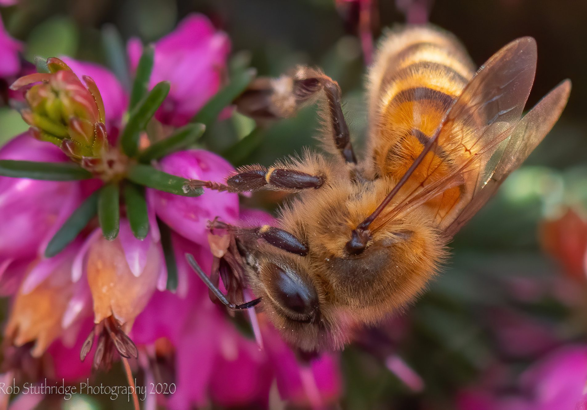 Honey Bee (Apis mellifera) on Erica Carnea, Barrow in Furness.