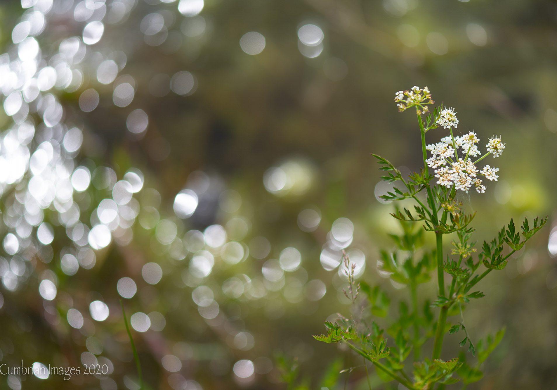 Yarrow [Achillea millefolium], Roanhead.