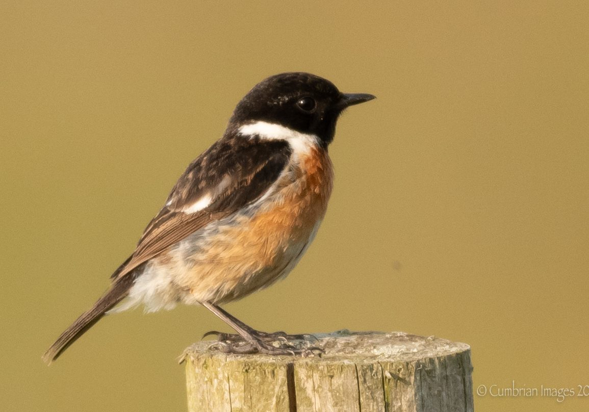 Stonechat posing politely at Sandscale Haws Nature Reserve