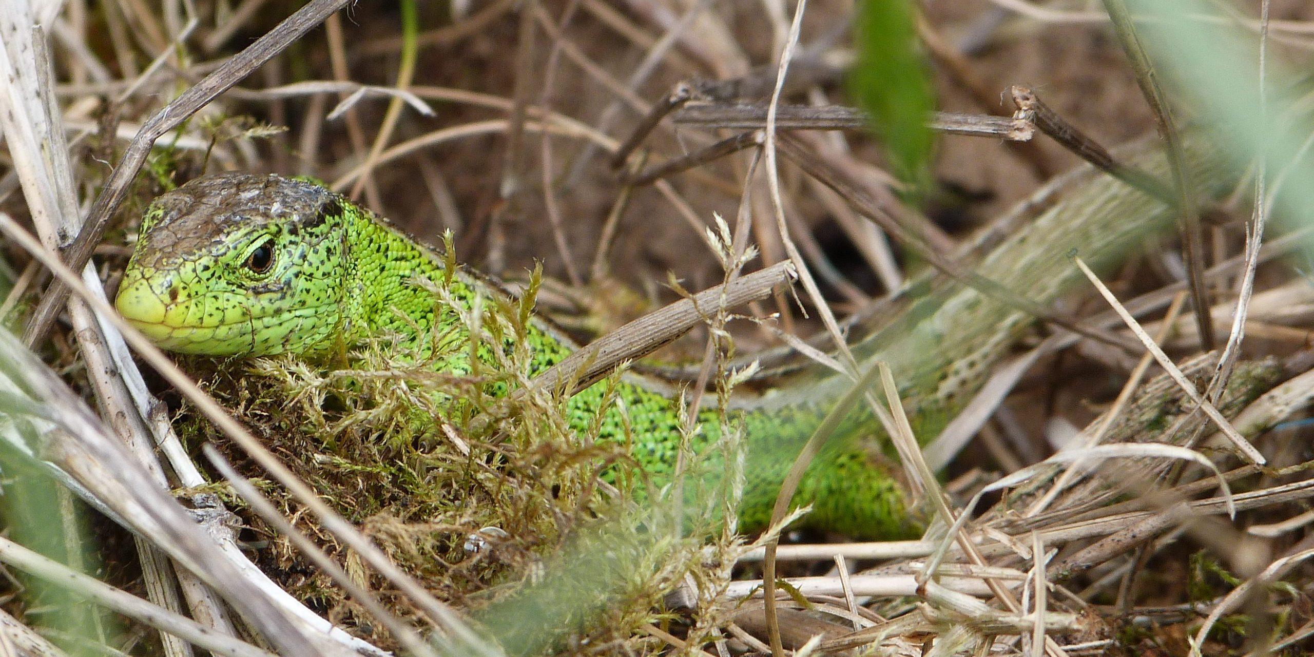 Sand Lizard. Image: Natalie Hunt