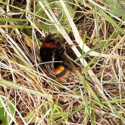Queen Buff tailed bumblebee – Photo: Bev Phillips