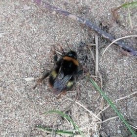Newly emerged Queen Buff tailed bumble bee, warming itself on the dunes at Woolacombe sand dunes. Photo: Bev Phillips