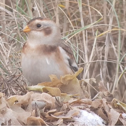 Snow Bunting. (Photo: Owen Beaumont)