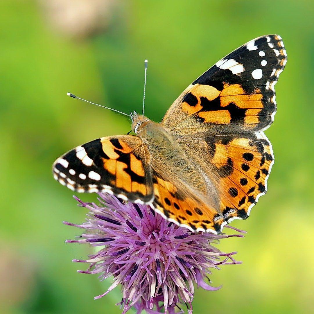 butterfly-1568926_1920