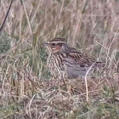 cliff 5 woodlark
