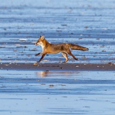 2 foxes have been out to the strand line feeding during the wash-out bonanza, but being far from the dune bushes have to dash back for protection when dogs are about. Cliff Morrison