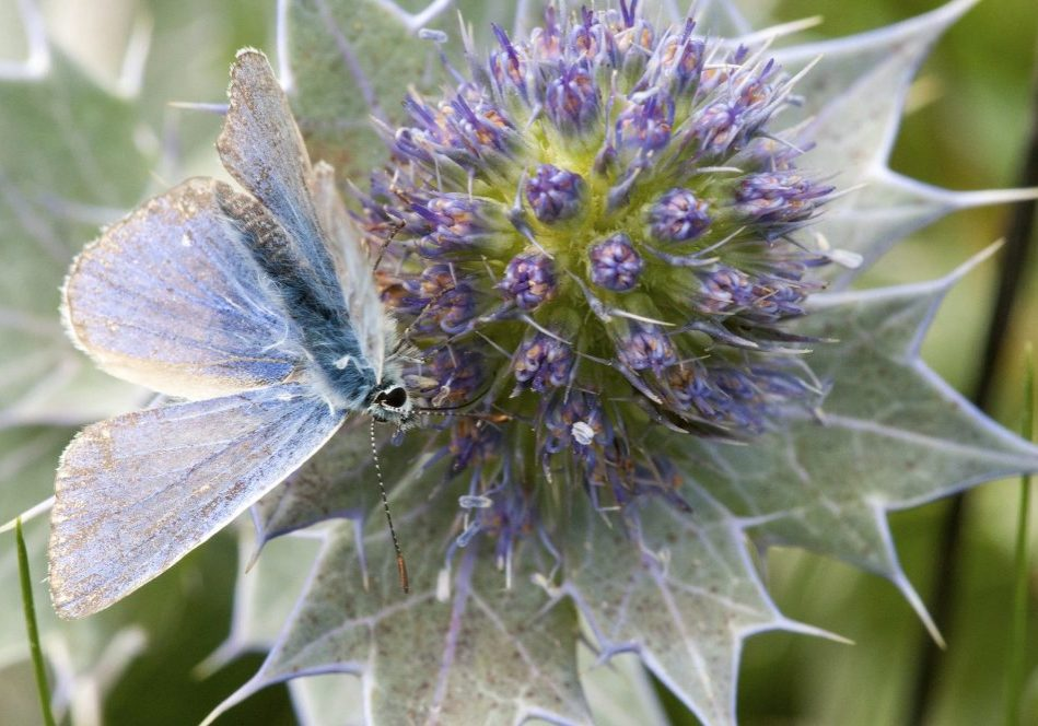 common-blue-butterfly-1631326_1920