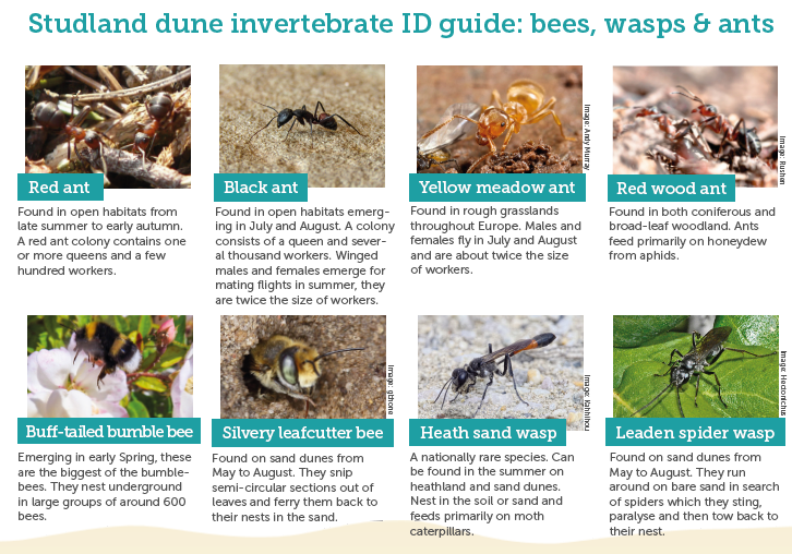 An image of the sand dune invertebrate ID guide that you can download