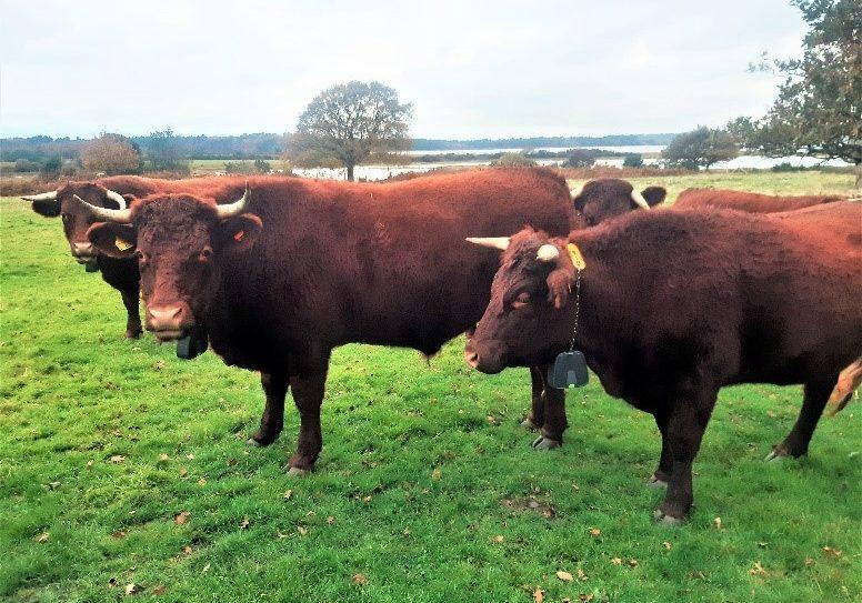 julai cow 1