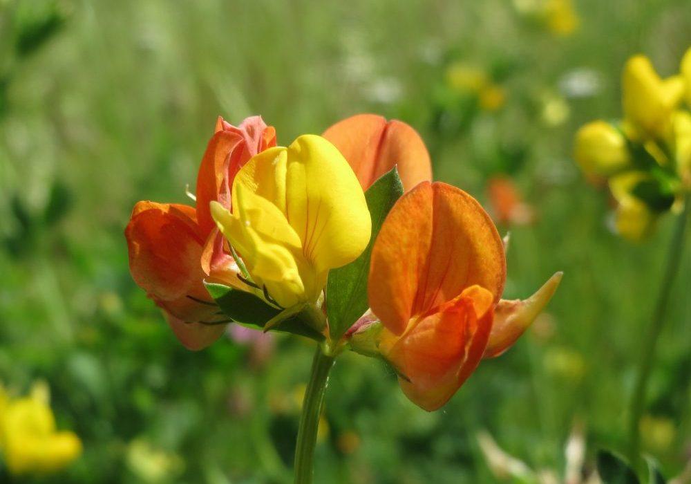 lotus-corniculatus-855451_1920
