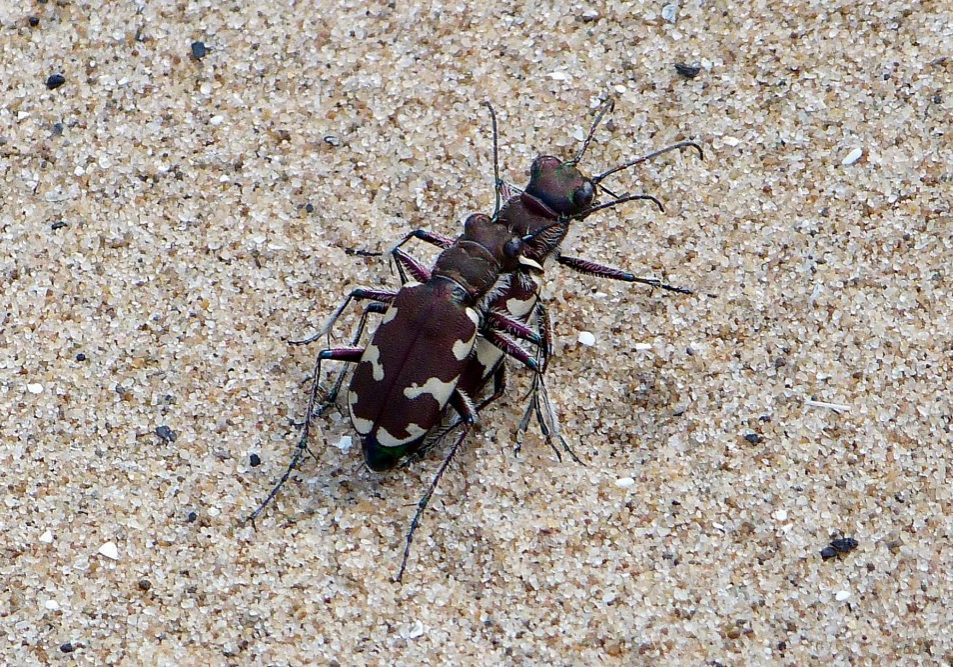 mating northern tiger dune beetles natalie hunt - Copy