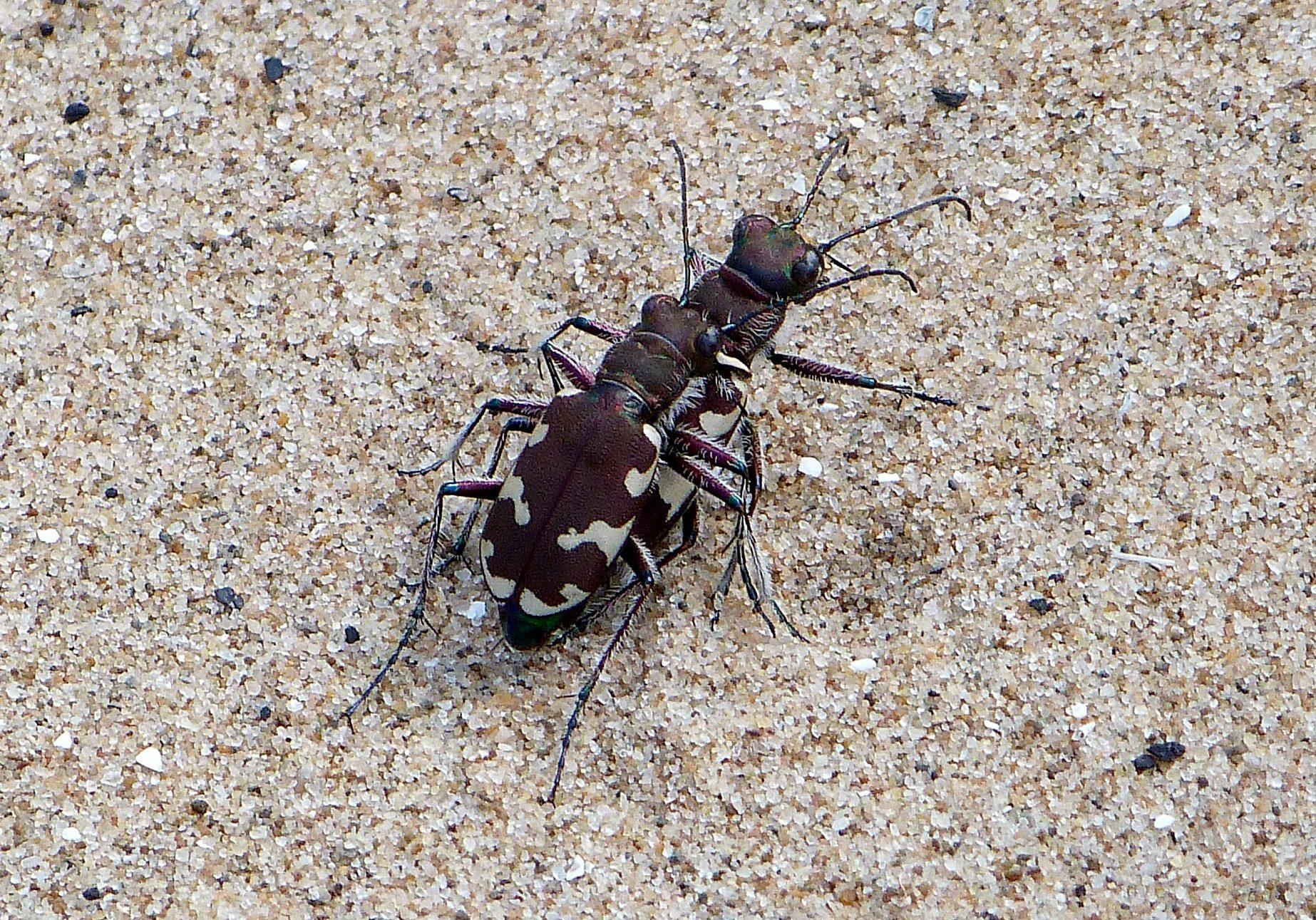 mating northern tiger dune beetles natalie hunt - Copy