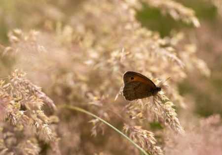 Meadow brown butterfly on Yorkshire fog grass. Image: National Trust Images, Rob Coleman