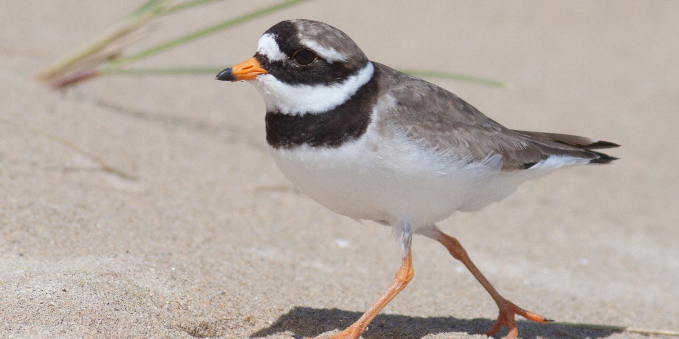 ringed plover walks on the sand