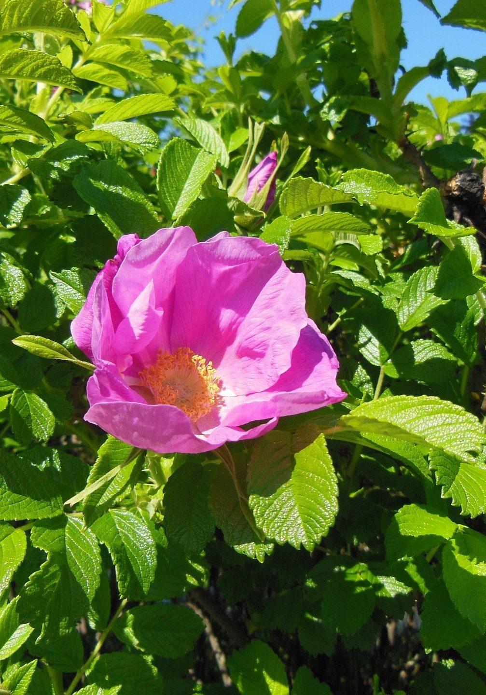 rosa-rugosa-115785_1920