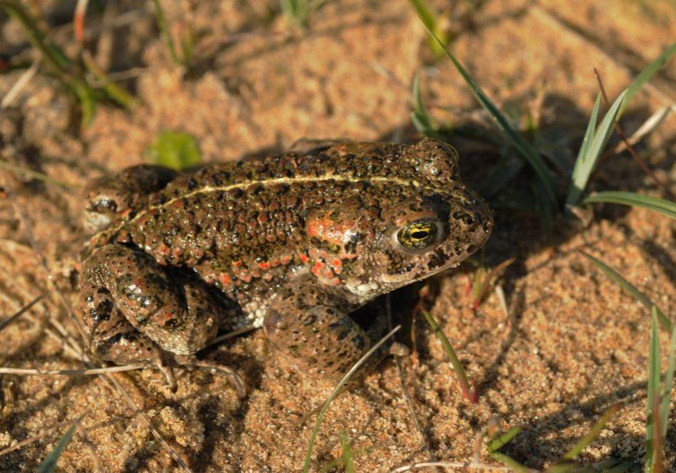 saltfleetby - natterjack toad