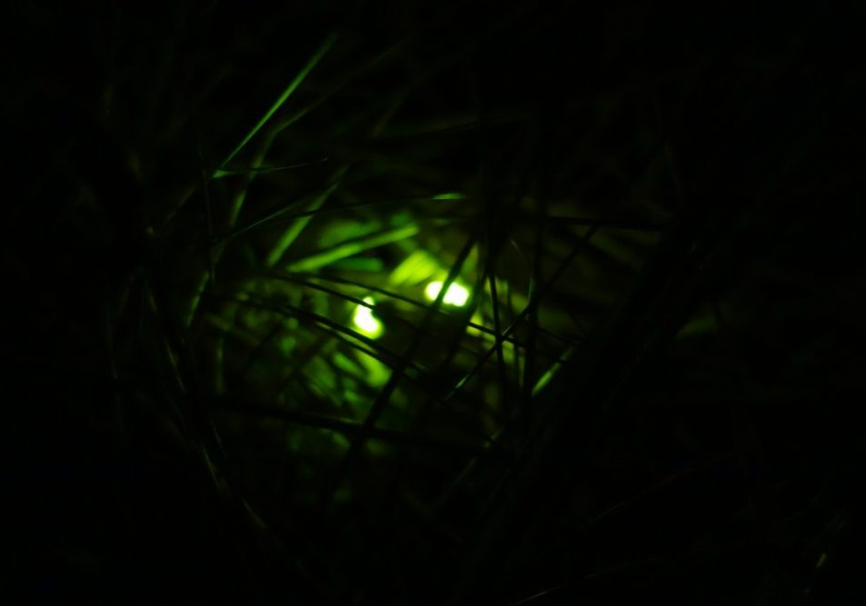Two glow worms shine amongst the marram grass